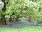 Bluebell woods - this area is known as big tree country.  Stunning in all the seasons