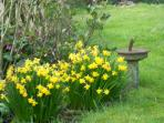 The tete a tete daffodils are lovely this year