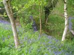 Bluebell time in our woodland