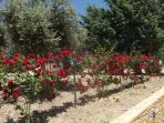 Rose rossa giardino
