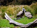 Cape Barren Geese with their young