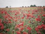 local poppy fields , beautiful walks