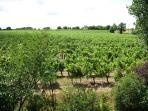 Les vignes à côté du gîte