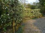Espaliered apples in the parking area outside Tyas Cottage