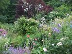 Summer abundance in the shared garden.  Paul's Himalayan Musk climbs the purple leaved plum