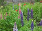 early summer fragrant lupins