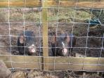 Rare breed Berkshire pigs raised at Little Rosewarne