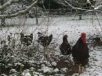 Our chickens in the orchard enjoying some rare snow this winter