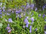 Bluebells in Godolphin woods