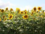Sunflower field next to property