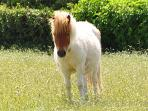 Dundee - one of our miniature Shetland ponies