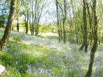 Garrique bluebell woods in May