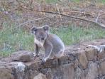 Koala in Front Yard of Cottage