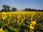 Fields of sunflowers, the other side of the hamlet.