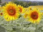 Or just enjoy the fields full of wonderful sunflowers!