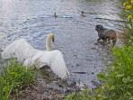 A cob protects its cygnets from a playful dog at Connaught Water - 20 minutes walk through Epping Fo