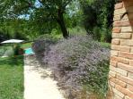 Lavender walk to the pool
