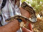 Get to know a snake at the reptile farm, Kartong