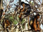 Red Colobus monkeys, Bijilo