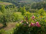 Olive yard, vineyard and wood