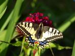 Swallowtail in the garden