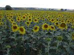 Fields of  sunflowers found all over the Charente