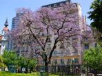 Jacaranda Trees in Bloom Paint Buenos Aires Streets