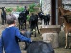 Visita al rebaño de cabras de nuestra granja