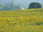 A walk by the Sunflowers