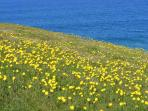 Wild Flowers on the beautiful Pentire Headland.