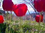 i tulipani dei miei amici olandesi