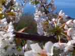 il fiore di ciliegio guarda il mare
