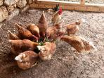 Chicken loft where visitors can pick daily fresh eggs