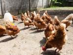 Our free roaming chickens who take care for the daily fresh eggs