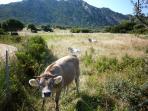 Nearby calf