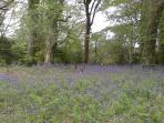 Gorgeous bluebells in spring at nearby Trellisick Gardens
