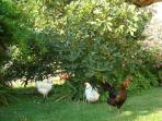 Free range hens under the fig tree at Sevenne