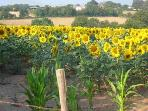 Sunflowers in a field near by