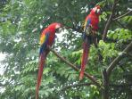 scarlet macaws at nearby Ara project