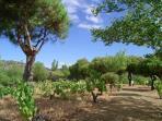La viña de la Isla del Burguillo