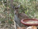 Kangaroo - the neighbour!
