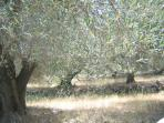 olive trees nearby