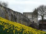Near the city walls, a cloth of gold in the spring.