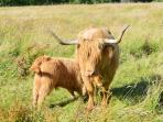 Hairy Heilan' Coo are plentiful in this area