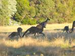Kangaroos on viewed sunrise/sunset