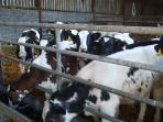 A real working farm with young animals for the dairy herd.  Easthill pedigree prefix.