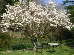 Magnolia in back garden, flowering beside the stream