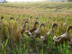 Ducks in the rice field
