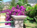 Beautiful bourgainvillea