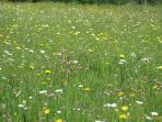 A wildflower meadow at Westley Farm